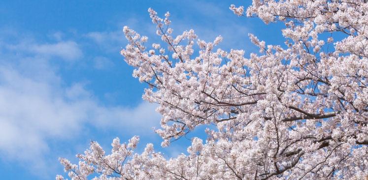旭川の春の桜