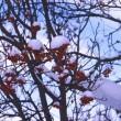 雪降り積もるナナカマド①