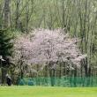 桜を見ながらプレーするパークゴルフは格別です