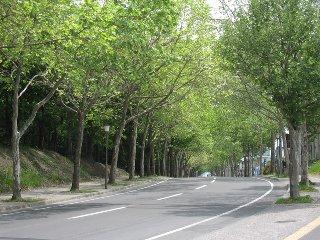 緑のトンネル「プラタナス並木」