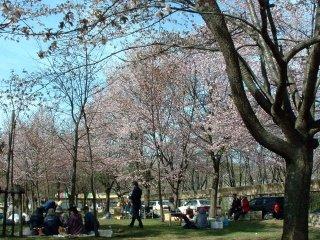 花見客で賑わう春の旭山公園(5月)