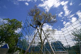 樹齢100年以上とされる貴重な「梅の木」