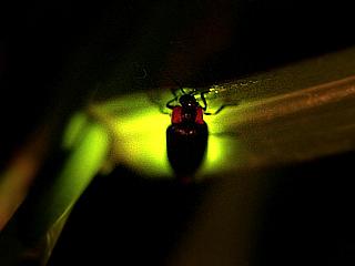 へいけホタルの発光は、愛のシグナルです。オスは主に空中からメスを探し、メスは葉の上などで様々な発光パターンで存在をアピールします。