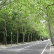 プラタナス並木の風景・夏③