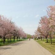 公園内を彩る桜の並木道