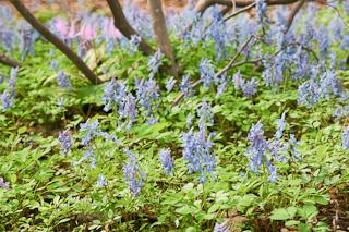 青色の可憐な花が咲くエゾエンゴサク