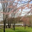 神居古潭・桜の風景