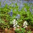 エゾエンゴサクの花畑