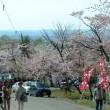 旭山公園の桜①