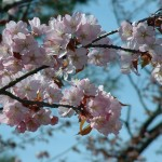 旭山公園の桜